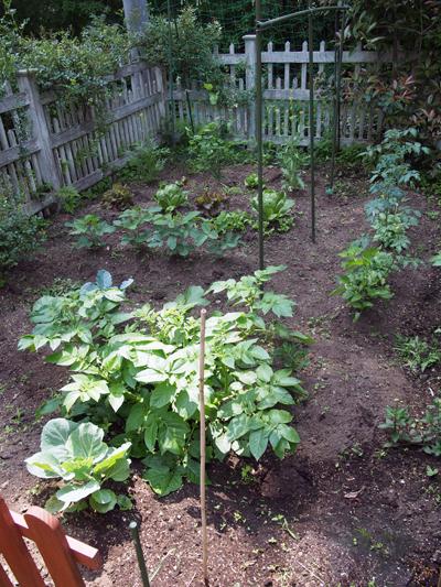 こちらはキッチンガーデン(菜園)。トマト、じゃがいも、レタス、しょうが、えだまめ等が育っています