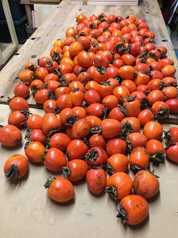 温かい今年は干し柿が11月下旬になってもつくれないで出番を待っています。雨のため湿度が高く温かかった今年の11月初旬から中旬に干し柿を作った近所のお宅では、干した柿がカビにやられて全滅したそうです。薪ストーブの前で渋柿の皮をむいて干し柿作りをするのが密かな冬の楽しみなのですが、ことしは12月に入ってからになりそうです。寒い冬あってこその健康とはよく言ったもので、人間も柿も同じなんですね。