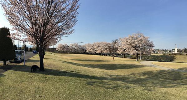 我が家のワンコGAKUの散歩コースも今桜が満開です