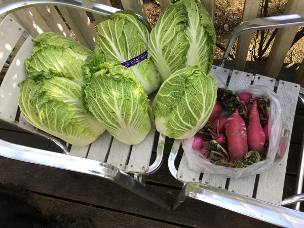 産直で仕入れた白菜8玉、と赤カブ